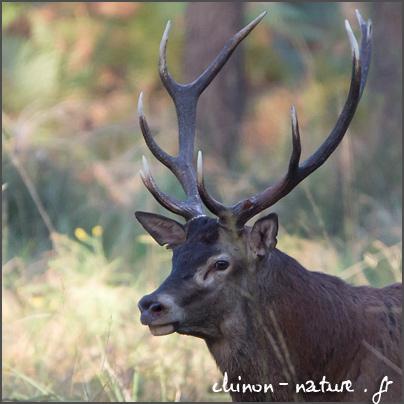 Le brame en forêt de Chinon en 2014